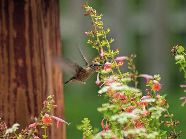 Broad-tailed Hummingbird Photograph - Hum by Alana Thrower