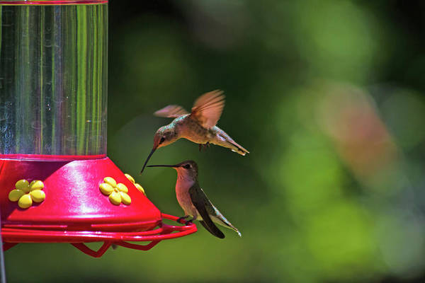 Broad-tailed Hummingbird Photograph - Hum Diner by Alana Thrower