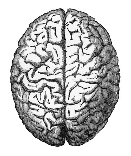 Nerves Drawing - Human Brain Isolated On White Engraved Illustration, Circa 1880 by Craig McCausland