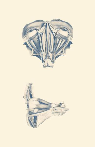 Nerves Drawing - Human Eye Anatomy - Dual-view by Vintage Anatomy Prints