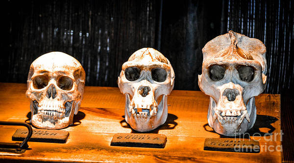 Photograph - Human Female Male Gorilla Skulls by Gary Keesler