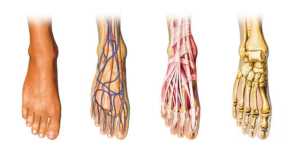 Organ Digital Art - Human Foot Anatomy Showing Skin, Veins by Leonello Calvetti