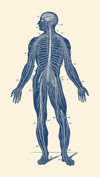 Nerves Drawing - Human Lymphatic System - Vintage Anatomy by Vintage Anatomy Prints
