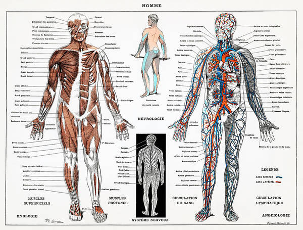 Nerves Drawing - Human Nervous And Muscular System by Unknown