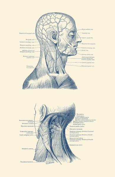 Nerves Drawing - Human Venous And Circulatory Systems - Head And Neck Dual View by Vintage Anatomy Prints