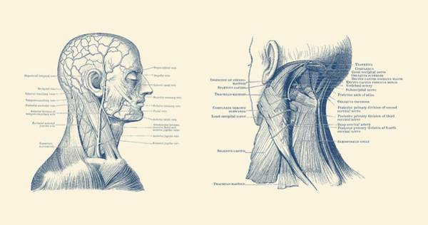 Nerves Drawing - Human Venous And Circulatory Systems - Head And Neck by Vintage Anatomy Prints