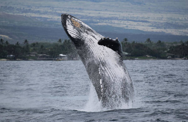 Photograph - Humback Whale Breaching by Pamela Walton
