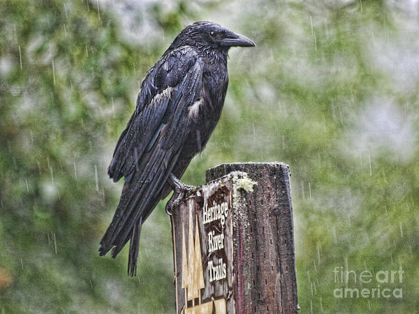 Photograph - Humbled Crow by Vivian Martin