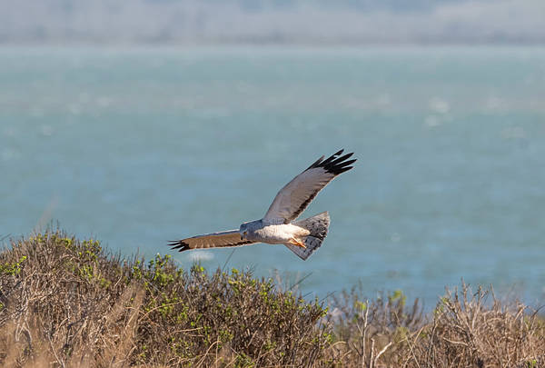 Harrier Photograph - Humboldt Harrier by Loree Johnson