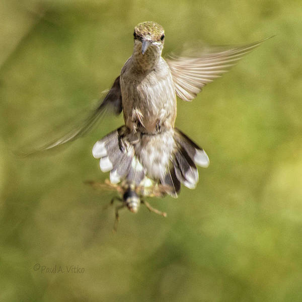 Photograph - Hummingbird And Wasp.... by Paul Vitko