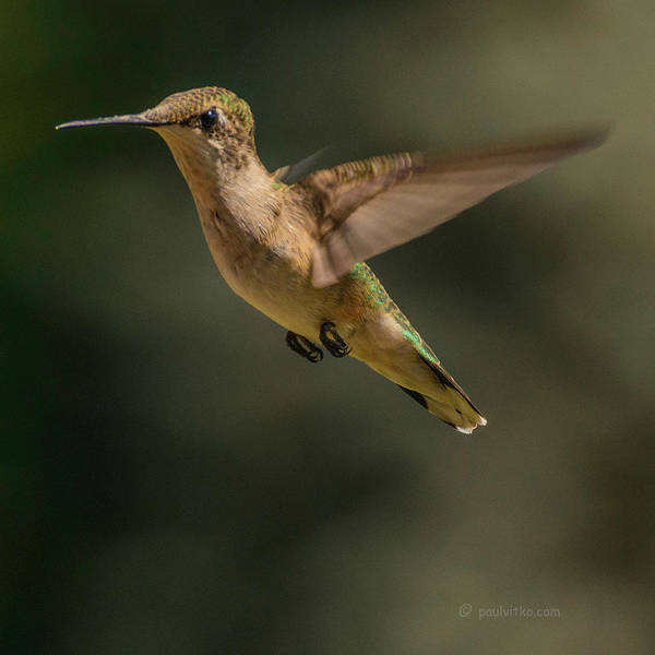Photograph - Hummingbird_01 by Paul Vitko