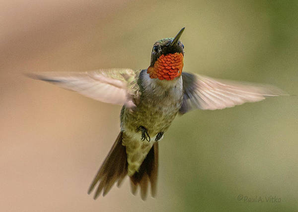 Photograph - Hummingbird_04 by Paul Vitko