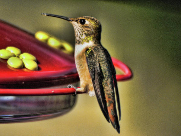 Photograph - Hummer 1 by Lawrence Christopher