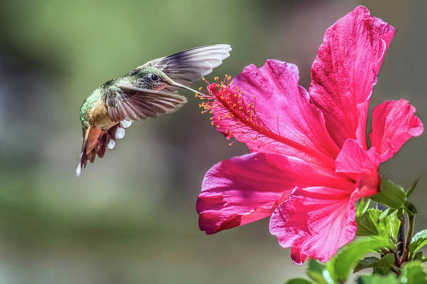 Broad-tailed Hummingbird Photograph - Hummer And Hibiscus by Dawn Key