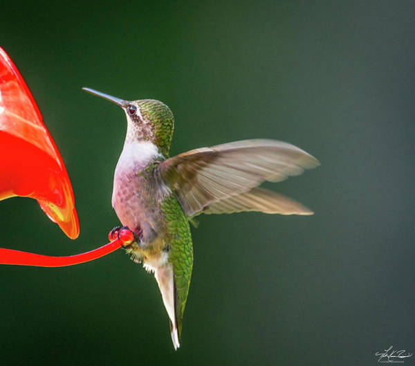 Photograph - Hummer At The Feeder by Philip Rispin