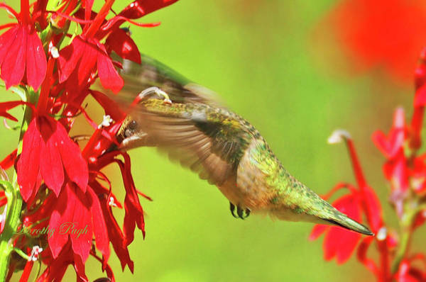 Photograph - Hummer In A Garden by Dorothy Pugh
