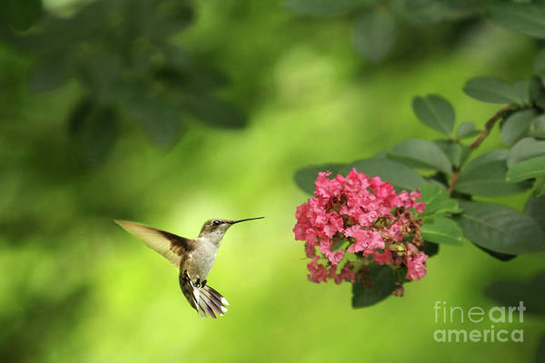 Wall Art - Photograph - Hummer In Flight by Darren Fisher