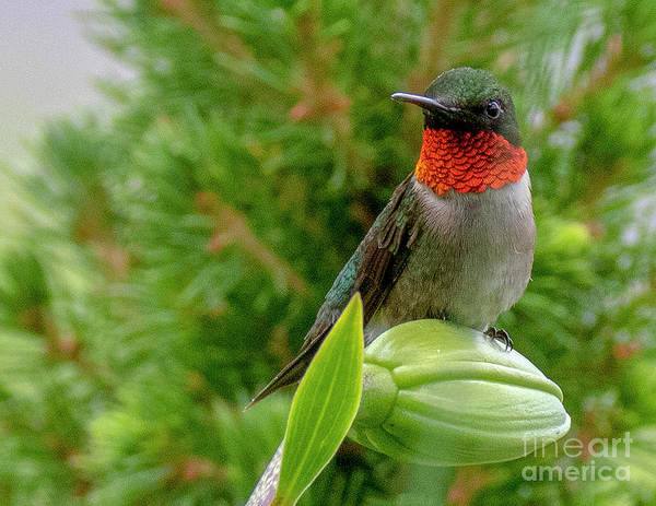 Photograph - Hummer by Ron Sadlier