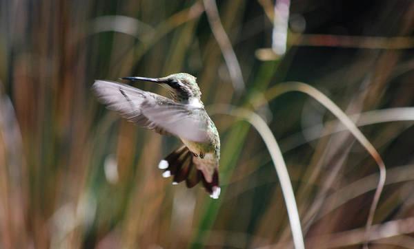 Photograph - Humming Around by Lori Tambakis