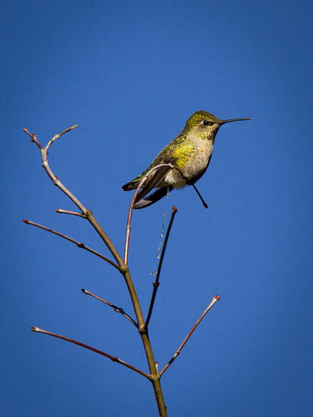 Evacuate Wall Art - Photograph - Humming Bird Evacuation by Jean Noren