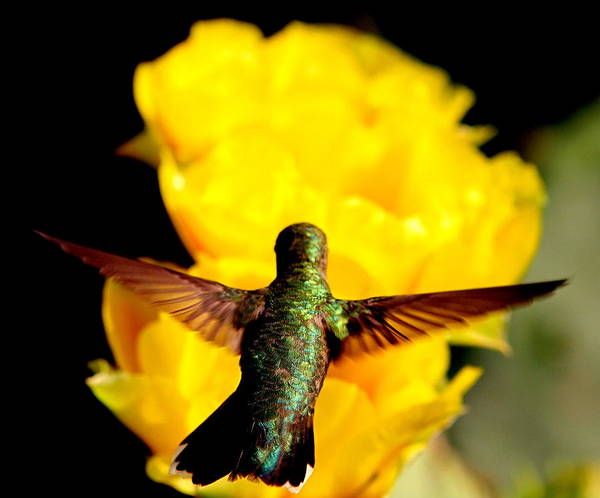 Wall Art - Photograph - Humming Bird In Light by George Gries