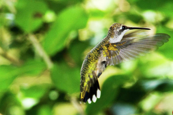 Photograph - Hummingbird 02 - 9-13 by Barry Jones