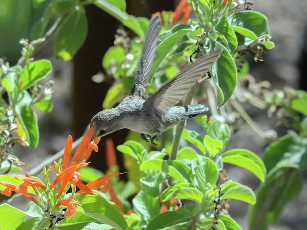Photograph - Hummingbird 0446 by Tam Ryan