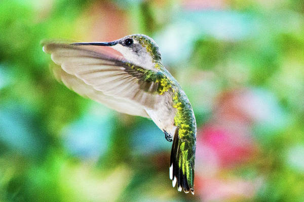 Photograph - Hummingbird 06 - 9-13 by Barry Jones