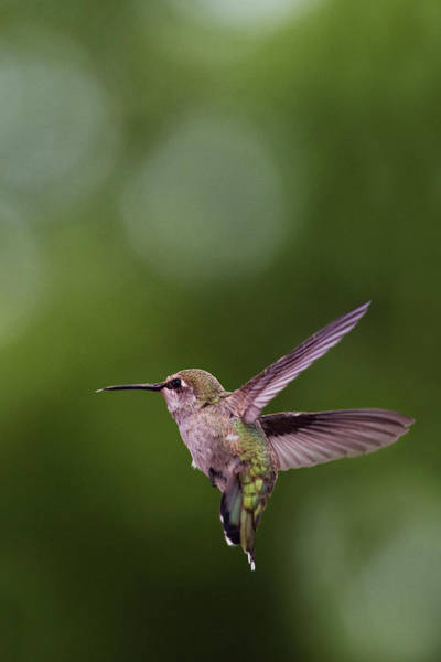 Photograph - Hummingbird #1 by David Lunde