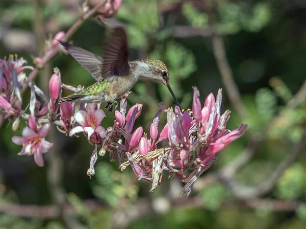 Photograph - Hummingbird 1643 by Tam Ryan