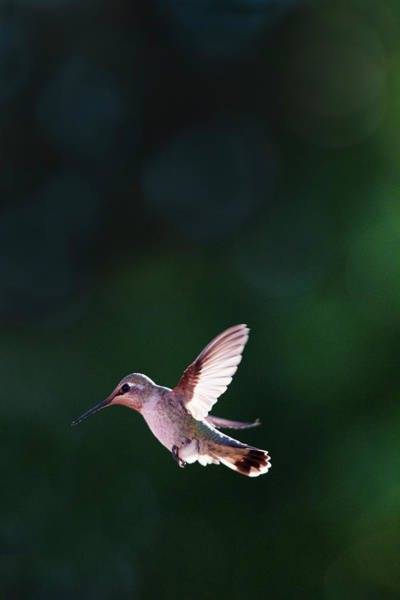 Photograph - Hummingbird #2 by David Lunde