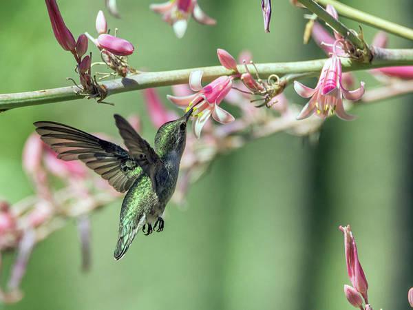 Photograph - Hummingbird 2279 by Tam Ryan