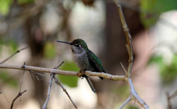 Photograph - Hummingbird - 3 by Christy Pooschke