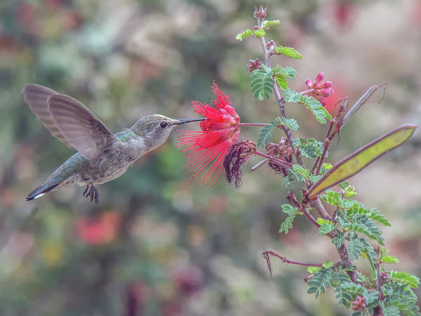 Photograph - Hummingbird 6643 by Tam Ryan