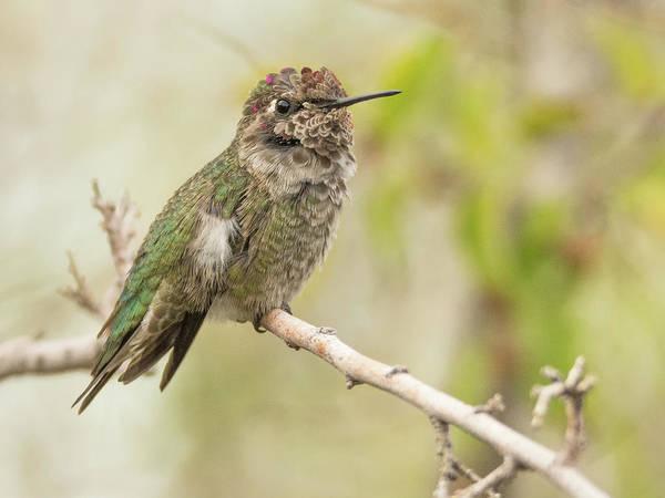 Photograph - Anna's Hummingbird 7485-120117-1cr by Tam Ryan