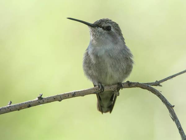 Photograph - Hummingbird 7514-101017-1cr by Tam Ryan