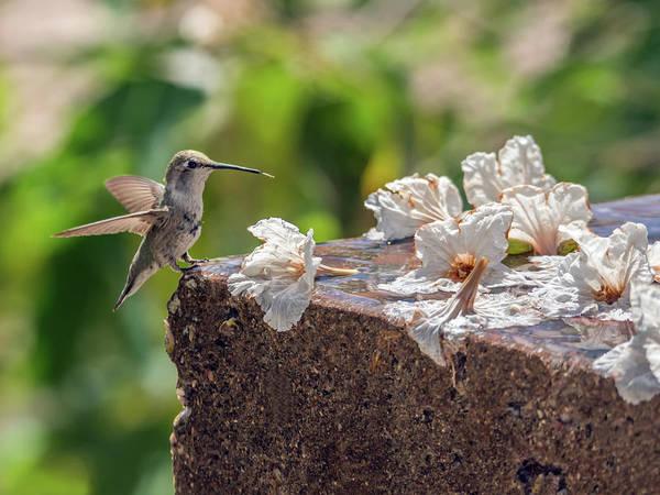 Photograph - Hummingbird 7578 by Tam Ryan