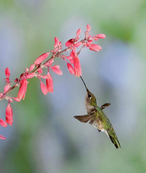 Broad-tailed Hummingbird Photograph - Hummingbird by Alan Toepfer
