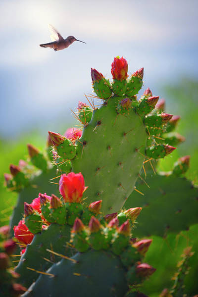 Photograph - Hummingbird And Cactus by Giovanni Allievi