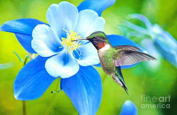 Wall Art - Photograph - Hummingbird And Columbine by Laura D Young