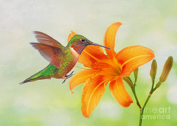 Ruby Wall Art - Photograph - Hummingbird And Day Lily by Laura D Young