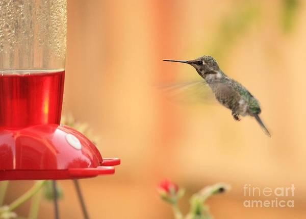 Hummingbird Wings Photograph - Hummingbird And Feeder by Carol Groenen