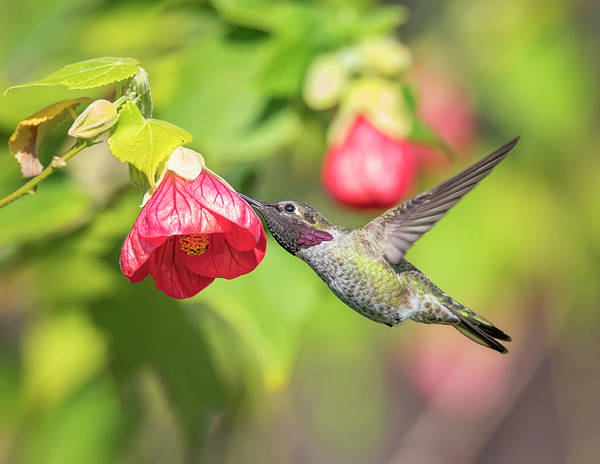 Photograph - Hummingbird And Flowering Maple by Loree Johnson