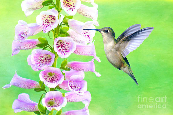 Ruby Wall Art - Photograph - Hummingbird And Foxglove by Laura D Young