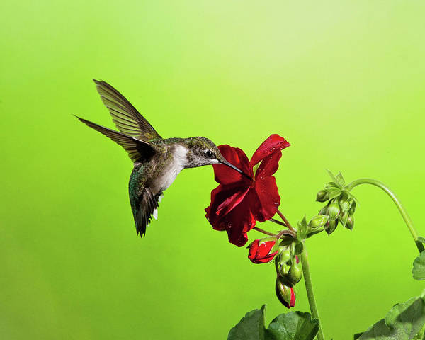 Photograph - Hummingbird And Gernanium by Lara Ellis
