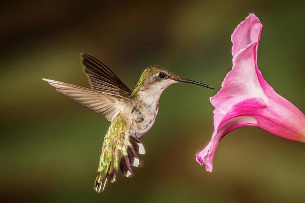 Rufous Photograph - Hummingbird And Hibiscus by Paul Freidlund