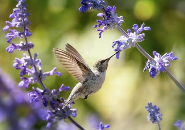 Wall Art - Photograph - Hummingbird And Lavender Flowers  by Saija Lehtonen