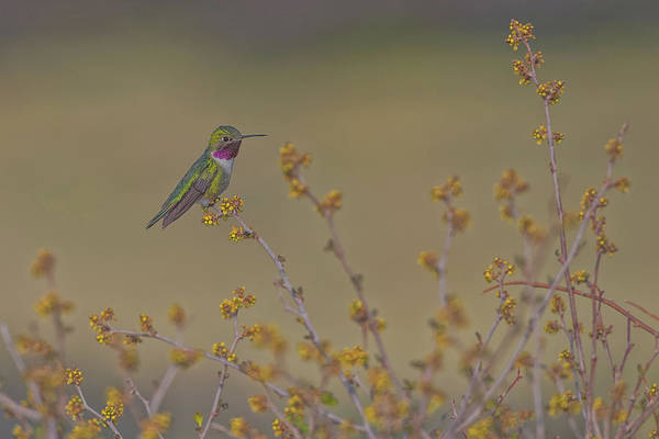 El Paso County Photograph - Hummingbird And Nature  by Luis A Ramirez