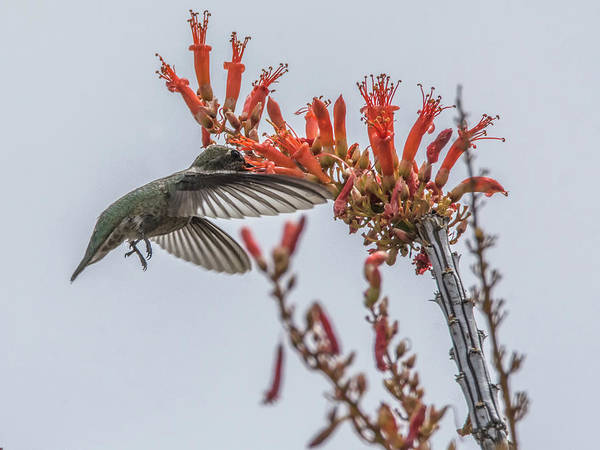 Photograph - Hummingbird And Ocotillo by Tam Ryan