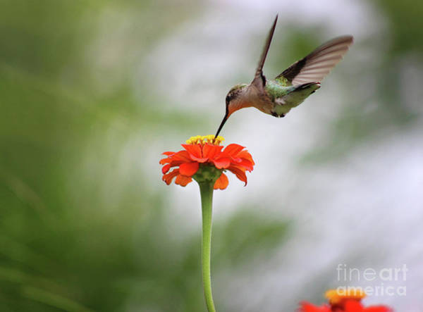 Photograph - Hummingbird And Orange Zinnia by Karen Adams